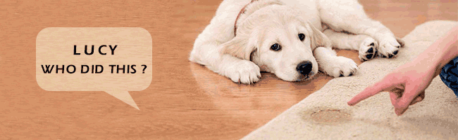 showing Dog Odors in carpet